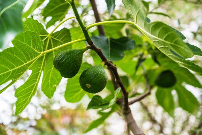 特写镜头的未成熟无花果挂在树枝上的无花果树在花园里