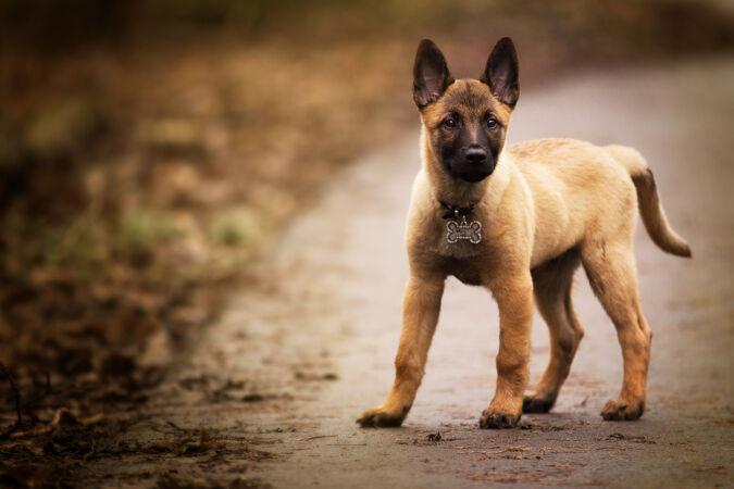 一只可爱的比利时牧羊犬在户外摆姿势的特写镜头
